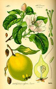 О фруктах... знакомых и незнакомых 180px-Illustration_Cydonia_oblonga0