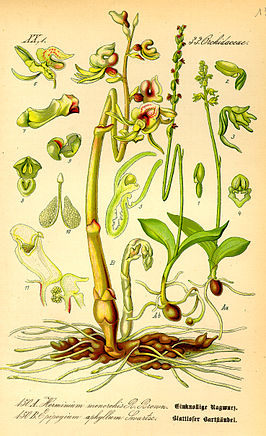 Illustration Herminium monorchis0.jpg