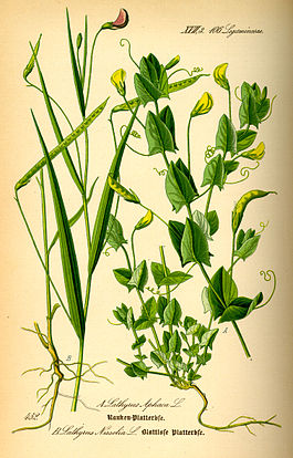 Illustration Lathyrus nissolia
