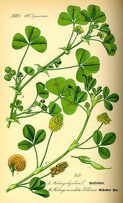 Illustration Medicago arabica0.jpg