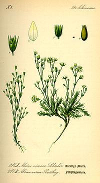 S. viscosa till vänster