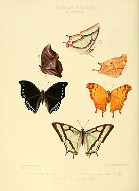 Illustrations of new species of exotic butterflies Nymphalis I.jpg
