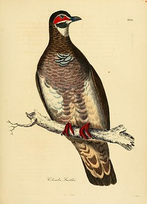 Illustrations of ornithology (Color Plate 104) (7748050330).jpg