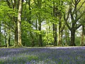 In the bluebell wood at Blackbury Camp - geograph.org.uk - 1285603.jpg