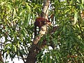 Indian Giant Squirrel in Amba.jpg