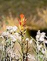 Indian paintbrush flower.jpg