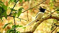 Indian paradise flycatcher at sattal DSCN1166 1.jpg