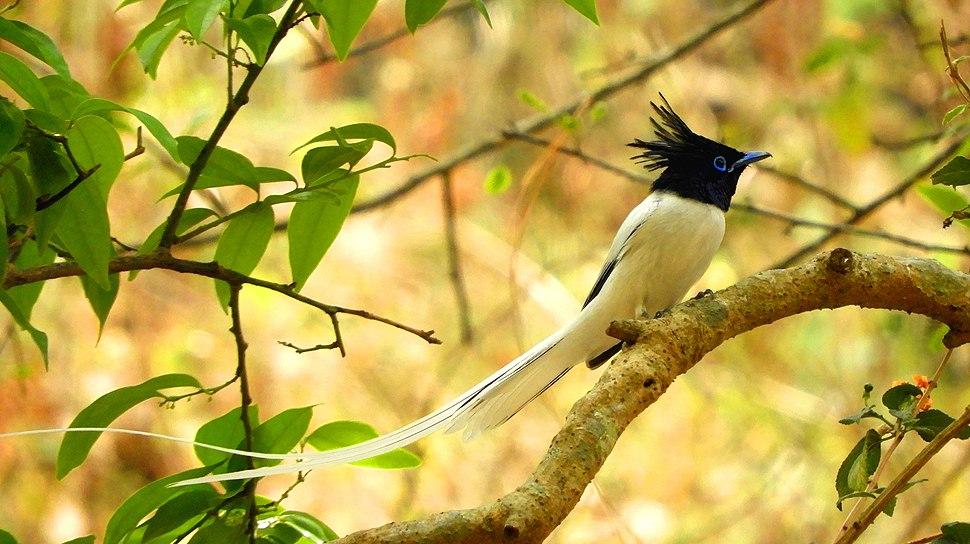 Indian paradise flycatcher at sattal DSCN1166 1