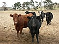 Inquisitive bullocks - geograph.org.uk - 110145.jpg