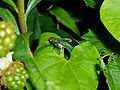 Insect fly 20070713 0119.jpg