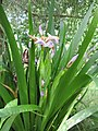 Iris foetidissima-flower-5.jpg