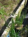 Iris sp sent as alberti (14187112425).jpg