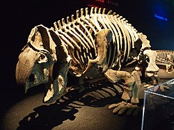 Ischigualastia skeleton.jpg