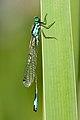 Ischnura elegans 15(loz).jpg