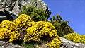Isola d'Elba - Genista desoleana.jpg