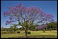 Jacaranda in New Farm Park Brisbane-1and (4016601794).jpg