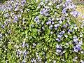 Jacquemontia pentantha-3-bangalore-India.jpg