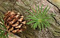 Japanese Larch Larix kaempferi Cone and Needles Angle 3000px.jpg