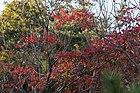 Japanese Wax Tree (Toxicodendron succedaneum) (22123006544).jpg