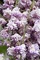 "Japanese Wisteria (Wisteria floribunda) ""Violacea Plena"" (3502718621).jpg"