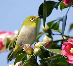 Japanese white-eye at Tennōji Park in Osaka, January 2016 IV.jpg