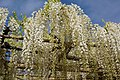 Japanese wisteria, Ashikaga Flower Park 8.jpg