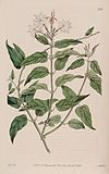 Jasminum elongatum Bot. Reg. 6. 436. 1820