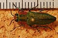 Jewel Beetle (Anthaxia hungarica) female (8284963168).jpg