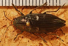 Jewel Beetle (Buprestis maculativentris) (8274041081).jpg