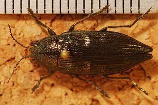 <i>Buprestis maculativentris</i> Species of beetle