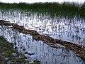 Juncos en el lago, lloviendo - panoramio.jpg