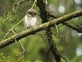 Juvenile Eurasian Pygmy Owl (Glaucidium passerinum), Eastern Belgium (14444712289).jpg