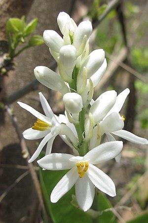 Kabuyea hostifolia - raceme (8375553251).jpg