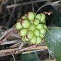 Kadsura japonica (fruits s12).jpg