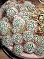 Kaktusy 9192.jpg