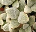 Kalanchoe eriophylla 03 ies.jpg