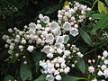 Kalmia latifolia species.jpg