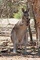 Kangaroo licking itself to cool.jpg