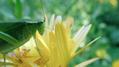 Katydid on calendula flower, closer (6083962819).png