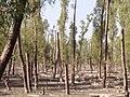 Keora tree - panoramio.jpg