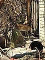Key deer after the storm (37266732345).jpg