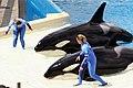 Killer whales @ Ocean Show (8782811375).jpg