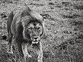 King in the wind @ Masai Mara (21876911920).jpg