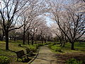 Kinunodai-sakurakoen 3 Tsukubamirai-city.JPG