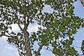 Knob Fig (Ficus sansibarica) (16707350584).jpg