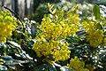 Korina 2017-04-09 Mahonia aquifolium 1.jpg