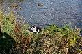 Kot i kaczki - panoramio.jpg