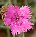 Kranj - pink flower.jpg