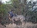Kudu Kruger.jpg