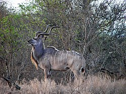 meaning of kudu
